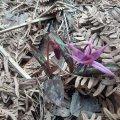 У лісах Романівського лісництва розцвітає рідкісна рослина - собачий зуб. ФОТО
