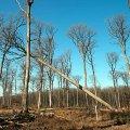 Во Франции срезают 200-летние дубы для восстановления Нотр-Дама