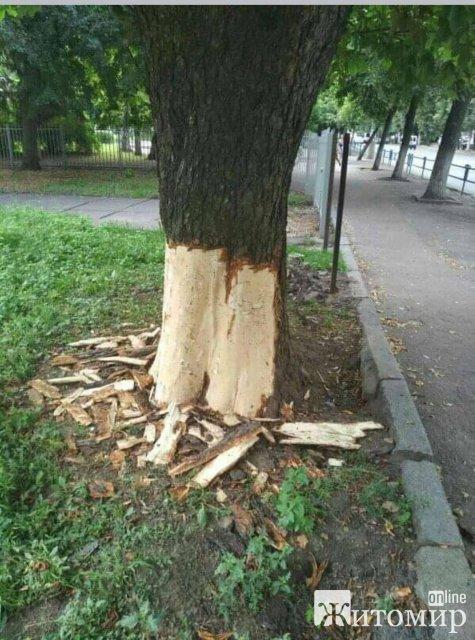Кому в Житомирі на Великій Бердичівській заважають здорові дерева? ФОТО