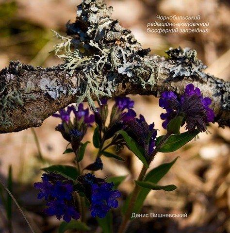 У Чорнобильському заповіднику знайшли рідкісні квіти. ФОТО