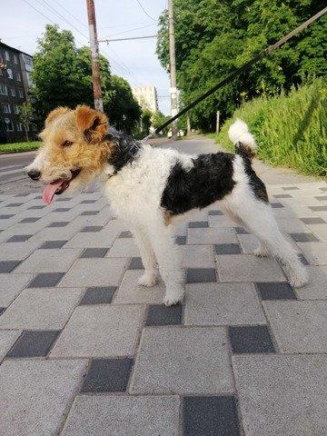 У Житомирі родина вже більше місяця розшукує свою улюблену собаку Джессі. ФОТО