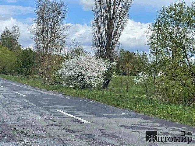 Неймовірно красиві квітучі вишневі гаї під Новоградом-Волинським. ФОТО