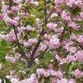 Житомиряни милуються незвичним цвітінням сакури на вулиці Пушкінській. ФОТО