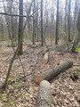 У Бердичівському лісгоспі чоловік вирубав дерев на 70 тисяч гривень. ФОТО