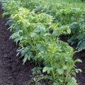 Картоплю обробляють уранці або ввечері