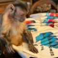 Умерла известная обезьяна, у которой было 17 млн подписчиков в TikTok
