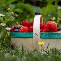 В Україні сезон полуниці, а її ціна не падає: в чому причина