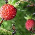 Проти мурашок — нашатир
