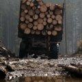 На Житомирщині судитимуть головного лісничого спецлісгоспу за вирубку понад 400 сосен