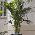 Домашняя пальма: особенности и домашний уход