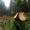 Радомишлянин незаконно вирубав 20 дерев у лісовому масиві