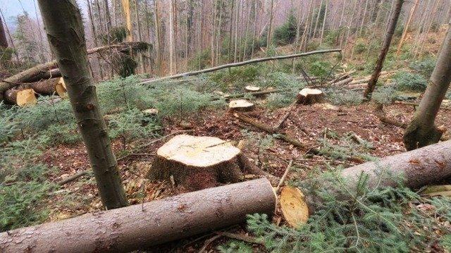 На Житомирщині за незаконні порубки судитимуть двох жителів області