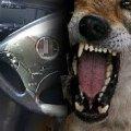 """У Бердичеві собака """"покусала"""" автівку місцевої жительки"""