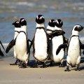 Бджоли вбили понад 60 пінгвінів біля Кейптауну